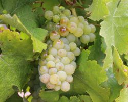 Chenin Blanc_grapes