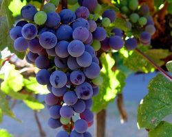 Malbec_grapes