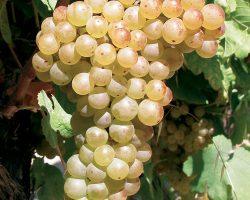 Marsanne_grapes
