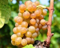 Muscat-Grapes