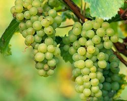 Semillon_grapes