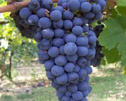 sangiovese_grapes