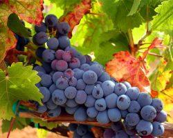 tempranillo_grapes