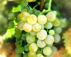 viognier_grapes