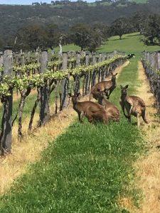 parawa kangaroos